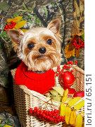 Купить «Йорк в вязаном красном свитере в плетеной корзине», фото № 65151, снято 5 октября 2006 г. (c) Ирина Мойсеева / Фотобанк Лори