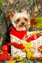 Йорк в вязаном красном свитере в плетеной корзине, фото № 65155, снято 5 октября 2006 г. (c) Ирина Мойсеева / Фотобанк Лори