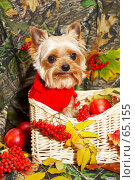 Купить «Йорк в вязаном красном свитере в плетеной корзине», фото № 65155, снято 5 октября 2006 г. (c) Ирина Мойсеева / Фотобанк Лори
