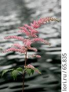 Купить «Ветка розовой астильбы поникающей на фоне воды», фото № 65835, снято 24 февраля 2019 г. (c) Demyanyuk Kateryna / Фотобанк Лори