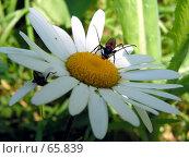 Купить «Пункт питания. Насекомое питающиеся пыльцой на ромашке», фото № 65839, снято 17 августа 2018 г. (c) Александр Тараканов / Фотобанк Лори
