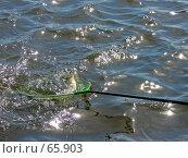 Купить «Рыба в подсачеке», фото № 65903, снято 11 августа 2006 г. (c) Наталия Евмененко / Фотобанк Лори