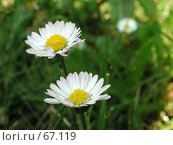 Купить «Белые ромашки среди полевой травы», фото № 67119, снято 12 июня 2004 г. (c) Harry / Фотобанк Лори