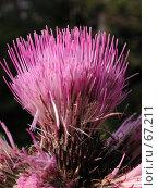 Купить «Яркий цветок репейника на темном фоне крупным планом», фото № 67211, снято 11 июля 2004 г. (c) Harry / Фотобанк Лори