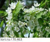 Купить «Яблони в цвету», фото № 70463, снято 21 мая 2006 г. (c) Корчагина Полина / Фотобанк Лори