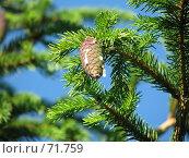 Смола на еловой шишке. Стоковое фото, фотограф Юрий Драгунов / Фотобанк Лори