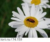 Купить «Белая ромашка на которой сидит красный жук», фото № 74159, снято 30 июня 2007 г. (c) Ashot  M.Pogosyants / Фотобанк Лори