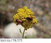 Купить «Желтое растение столетник бессмертник на котором два красных жучка», фото № 74171, снято 7 июля 2007 г. (c) Ashot  M.Pogosyants / Фотобанк Лори