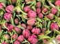 Розовые бутоны голландских тюльпанов, фото № 74979, снято 10 апреля 2007 г. (c) Лада Иванова / Фотобанк Лори