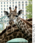 Купить «Жирафа...», фото № 75371, снято 8 мая 2006 г. (c) Алексей Ладыгин / Фотобанк Лори