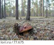 Купить «Гриб Боровик», фото № 77675, снято 2 сентября 2006 г. (c) Алексей Маринченко / Фотобанк Лори