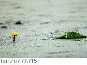 Болотная красавица. Стоковое фото, фотограф Оксана Кущенко / Фотобанк Лори