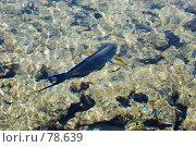 Купить «Рыба-хирург», фото № 78639, снято 22 августа 2007 г. (c) Лифанцева Елена / Фотобанк Лори