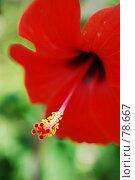 Купить «Красный гибискус», фото № 78667, снято 22 августа 2007 г. (c) Лифанцева Елена / Фотобанк Лори