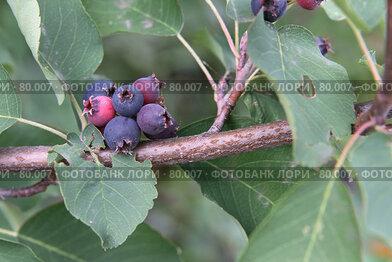 Купить «Ветвь ирги с ягодой и листьями», фото № 80007, снято 8 декабря 2007 г. (c) Сергей Лешков / Фотобанк Лори