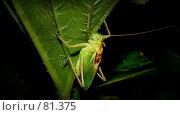 Купить «Зеленый кузнечик - ночной музыкант», фото № 81375, снято 22 июля 2007 г. (c) Таня Нотта / Фотобанк Лори