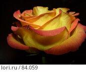 Купить «Королева цветов», фото № 84059, снято 8 октября 2006 г. (c) Стекляренко Марина / Фотобанк Лори