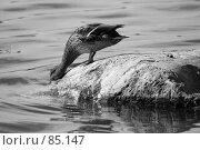 Купить «Утка, пьющая воду», фото № 85147, снято 10 сентября 2007 г. (c) Андрей Лабутин / Фотобанк Лори