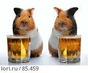 Морские свинки и пиво. Стоковое фото, фотограф Андрей Армягов / Фотобанк Лори