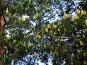 Ветка сосны с почками, фото № 87815, снято 11 июня 2006 г. (c) Григорий Стоякин / Фотобанк Лори