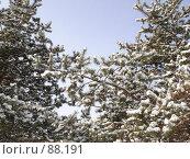 Купить «Сосны в снегу на фоне неба», фото № 88191, снято 16 февраля 2006 г. (c) Евгений  Иванович Подгаевский / Фотобанк Лори