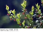 Купить «Цветет черника», фото № 91111, снято 9 июня 2007 г. (c) Екатерина Соловьева / Фотобанк Лори