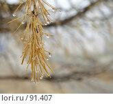Купить «Капля дождя на сосновой иголке», фото № 91407, снято 5 ноября 2006 г. (c) Квитченко Лев / Фотобанк Лори