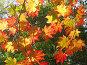 Сквозь красные кленовые листья просвечивает солнце, эксклюзивное фото № 91555, снято 2 октября 2007 г. (c) Наталья Волкова / Фотобанк Лори