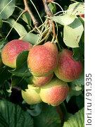 Купить «Грушевая гроздь», фото № 91935, снято 17 августа 2007 г. (c) Михаил Николаев / Фотобанк Лори