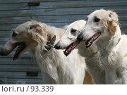 Купить «Борзая русская. Три штуки.», фото № 93339, снято 30 июня 2007 г. (c) Екатерина Соловьева / Фотобанк Лори