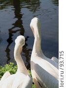 Купить «Два белых пеликана смотрят в одну сторону», фото № 93715, снято 18 мая 2007 г. (c) Елена Мельникова / Фотобанк Лори