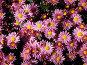 Крым. Никитский ботанический сад. Бал хризантем. Октябрь 2006 года, фото № 93731, снято 20 сентября 2017 г. (c) Наталья Ткаченко / Фотобанк Лори
