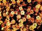 Крым. Никитский ботанический сад. Бал хризантем. Октябрь 2006 года, фото № 93743, снято 24 октября 2016 г. (c) Наталья Ткаченко / Фотобанк Лори