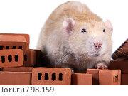 Купить «Большая крыса на маленьких кирпичиках. Дамбо рекс. Крыса строитель. Крупный план.», фото № 98159, снято 15 июля 2018 г. (c) Сергей Лешков / Фотобанк Лори