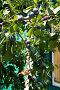 Ветка со спелыми сливами на фоне деревянной стены дома, фото № 98183, снято 28 июля 2007 г. (c) Борис Панасюк / Фотобанк Лори