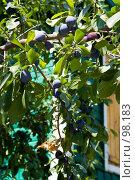 Купить «Ветка со спелыми сливами на фоне деревянной стены дома», фото № 98183, снято 28 июля 2007 г. (c) Борис Панасюк / Фотобанк Лори