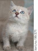 Купить «Взгляд маленького серого котенка», фото № 99571, снято 13 сентября 2007 г. (c) Останина Екатерина / Фотобанк Лори