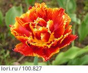 Купить «Махровый тюльпан», фото № 100827, снято 21 мая 2005 г. (c) Калёнов Павел / Фотобанк Лори