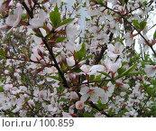 Купить «Пора цветения», фото № 100859, снято 9 мая 2005 г. (c) Калёнов Павел / Фотобанк Лори