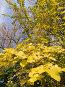 Лимонные осенние листья тутовника, фото № 101879, снято 29 сентября 2006 г. (c) Борис Панасюк / Фотобанк Лори