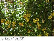 Купить «Спелый виноград», фото № 102731, снято 23 мая 2018 г. (c) Знаменский Олег / Фотобанк Лори