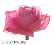 Купить «Нежная розовая роза в каплях росы на белом фоне», фото № 106399, снято 23 марта 2019 г. (c) Светлана Кучинская / Фотобанк Лори