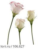 Купить «Цветы белого лизиантуса с розовой окраской. Трио.», фото № 106827, снято 29 октября 2007 г. (c) Tamara Kulikova / Фотобанк Лори