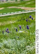 Купить «Цветы шалфея поникшего на фоне зеленого луга и дорожного ограждения», фото № 109315, снято 18 мая 2006 г. (c) Борис Панасюк / Фотобанк Лори