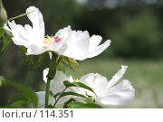 Купить «Белый пион», фото № 114351, снято 29 мая 2007 г. (c) Astroid / Фотобанк Лори