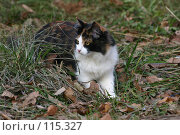 Купить «Взгляд кошки которая идет по траве летним днем», фото № 115327, снято 7 ноября 2005 г. (c) Останина Екатерина / Фотобанк Лори