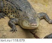 Купить «Большой крокодил со шрамом», фото № 118079, снято 25 марта 2007 г. (c) Колчева Ольга / Фотобанк Лори