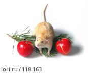 Купить «Крыс дамбо рекс между двумя красными яблоками», фото № 118163, снято 23 сентября 2007 г. (c) Иван / Фотобанк Лори