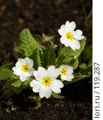 Купить «Примула», фото № 119287, снято 12 апреля 2007 г. (c) Смирнова Лидия / Фотобанк Лори