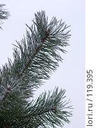 Купить «Сосновая ветка», фото № 119395, снято 16 ноября 2007 г. (c) Argument / Фотобанк Лори